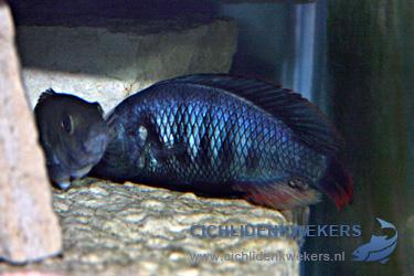 lithochromis-rubripinnis-koppel