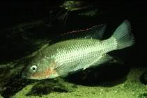 oreochromis-esculentum