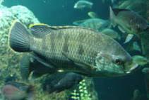 oreochromis-variabilis