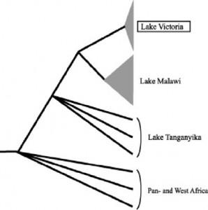 haplochromis soorten