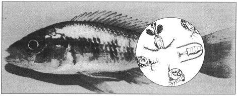 zooplanktoneter
