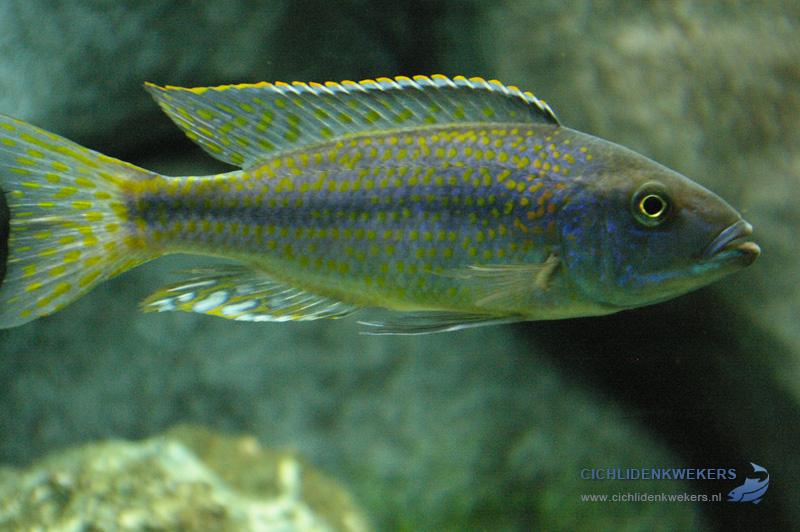 dimidiochromis-kiwinge
