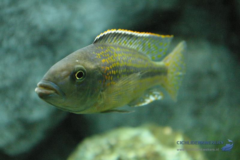 haplochromis-kiwinge