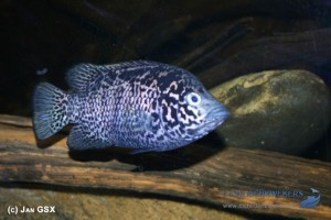 N. tetracanthus