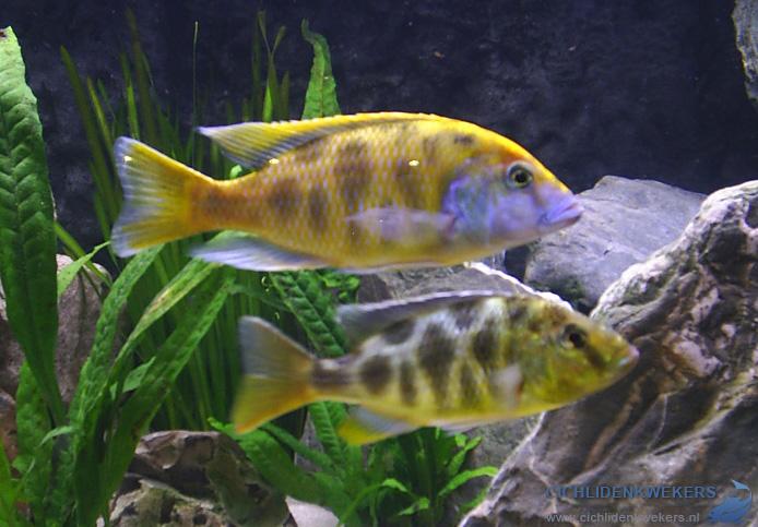 nimbochromis-venustus