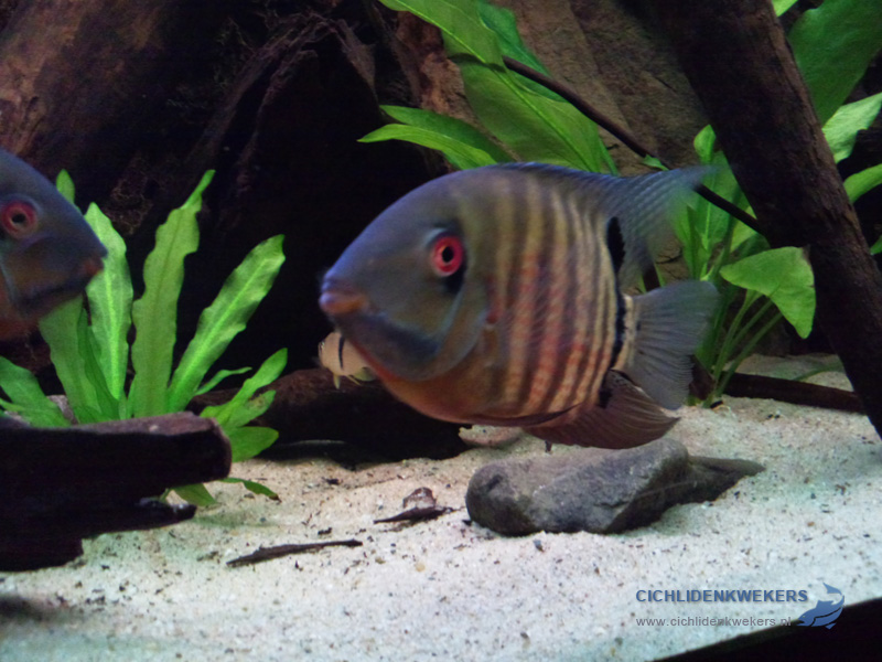 severum-female