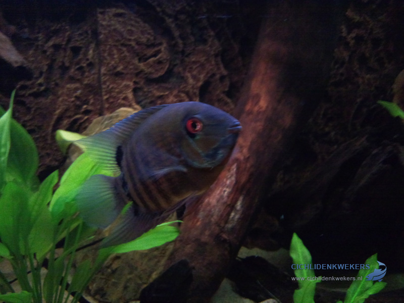 severum-male