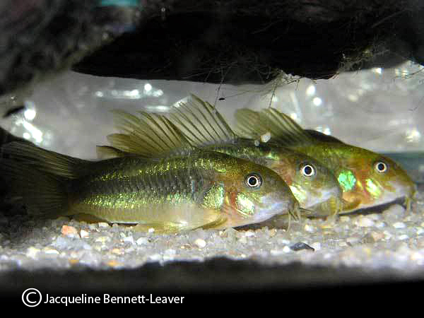 corydora-laser-green-group