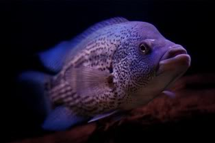 parachromis-dovii