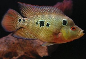 Three-spot Cichlid