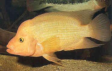 amphilophus-labiatus