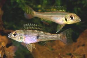 B. opercularis