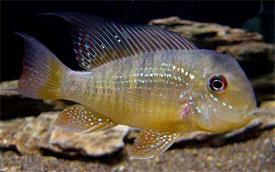 gymnogeophagus-balzanii