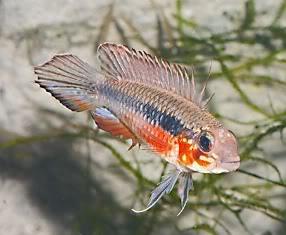 apistogramma-elisabethae