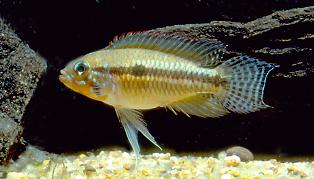 apistogramma paucisquamis