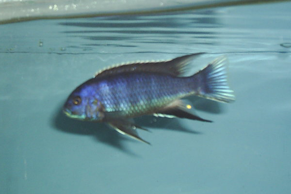 pseudotropheus acei
