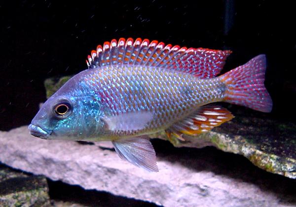tramitichromis-intermedius