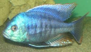 c. rhoadesii