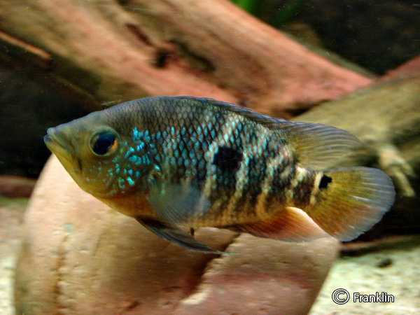 caquetaia-spectabilis-male
