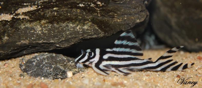 hypancistrus-zebra