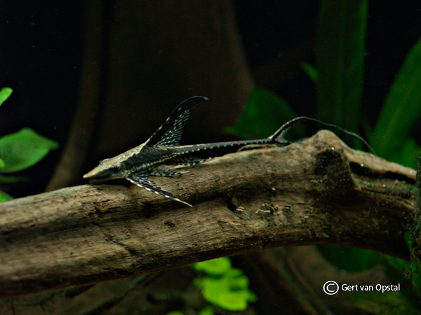long-whiptail-catfish