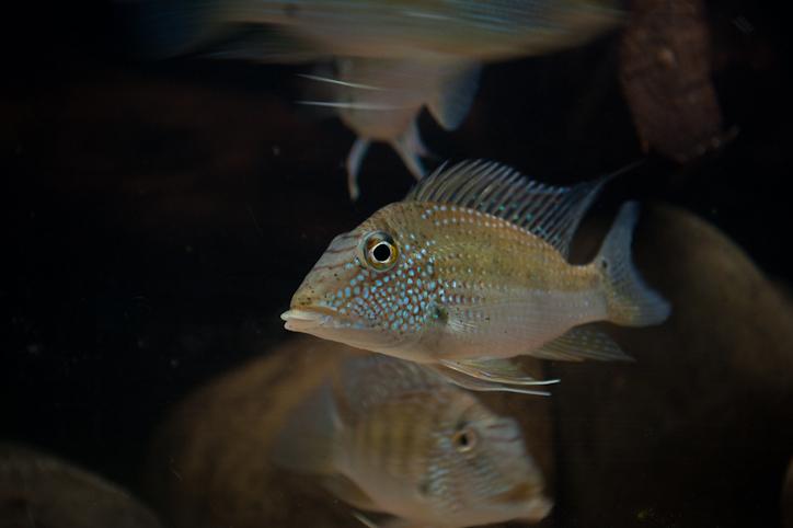 satanoperca-leucosticta-groep
