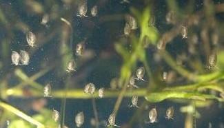 watervlooien-kweken