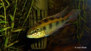 dicrossus-maculatus-man
