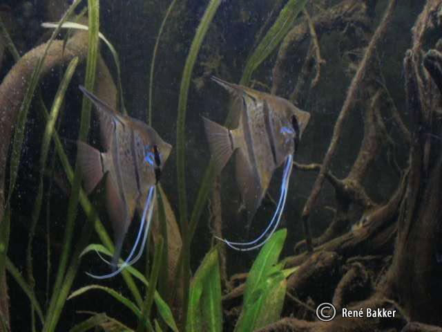 pterophyllum-peru-altum