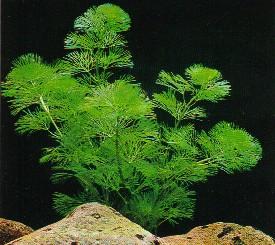cabomba-aquatica