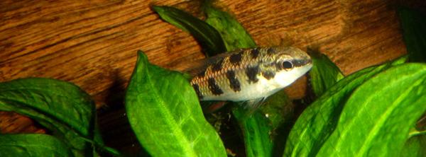 dicrossus-maculatus-female