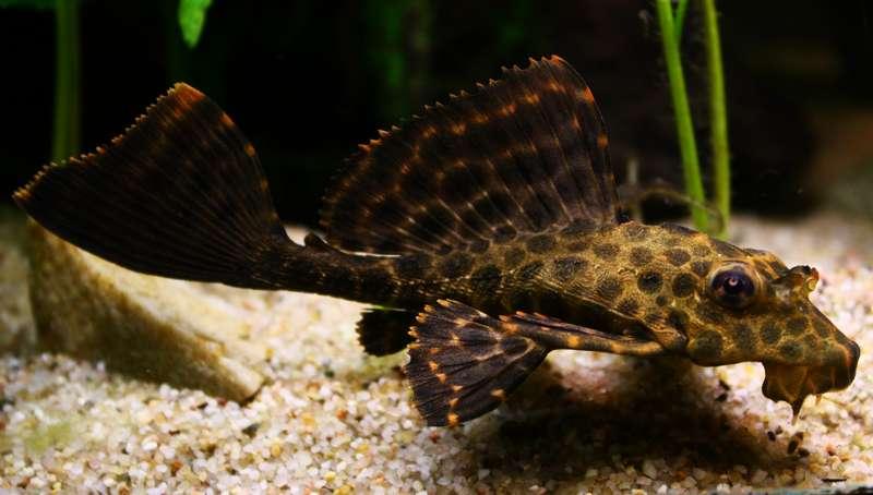 glyptoperichthys-gibbiceps