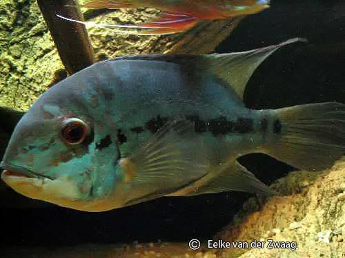 hoplarchus-psittacus