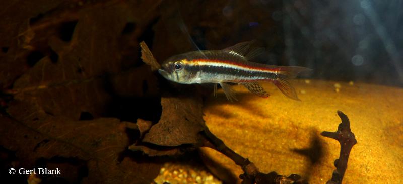 poecilocharax-weitzmani-ondervoed