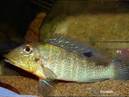 retroculus-lapidifer