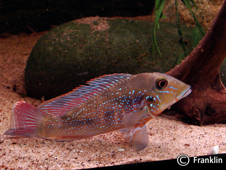 retroculus-lapidifer1
