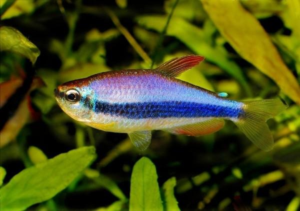 zuid amerikaanse tropische vissen