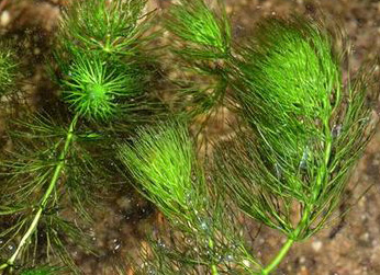 ceratophyllum-submersum