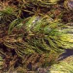 ceratophyllum_demersum