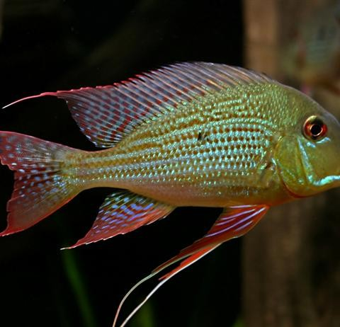 Geophagus-altifrons