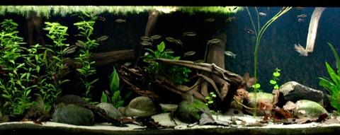 aquarium-dwergcichliden-g-opstal