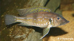 medebewoners-ghnatochromis