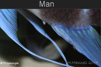 cyphotilapia-geslacht-man