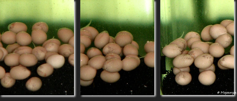 cyphotilapia-voortplanting-eieren2