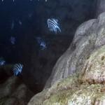 cyphotilapia-wildvang-natuur6-150x150